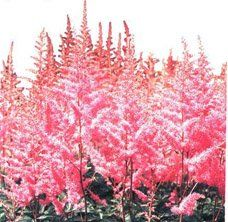 Астильба Арендса гібридна - Кімнатні рослини