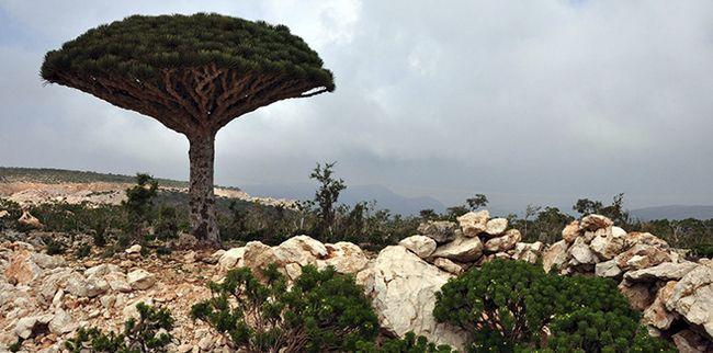 Драконьи дерева на острові Сокотра