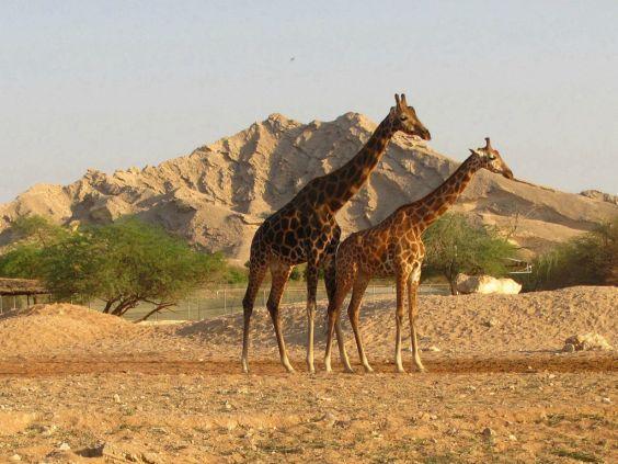 Місто Аль-Айн. зоопарк
