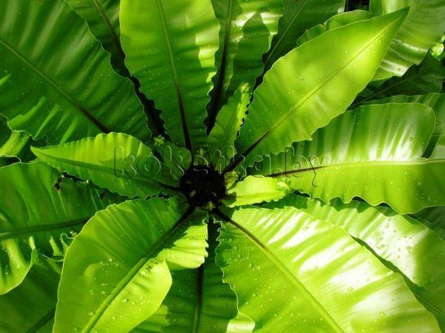 Отруйні кімнатні рослини