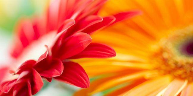 Як доглядати за герберою: особливості, захворювання і догляд за квіткою