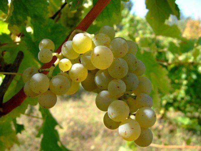 Як виростити виноград з кісточки будинку