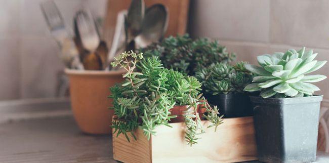 Які кімнатні рослини приносять щастя