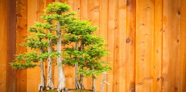Карликові дерева для дому - догляд та утримання