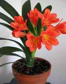 Кімнатні рослини не потребують світла і догляду за ними. Фото. (Кливия)